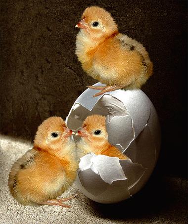 ChickenVEgg