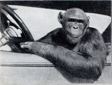 Driving chimp
