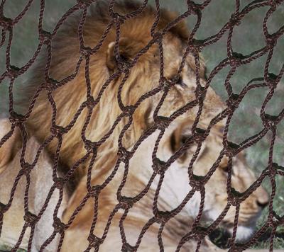 Lions in a net