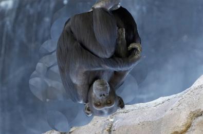 Topsy Turvy Chimp