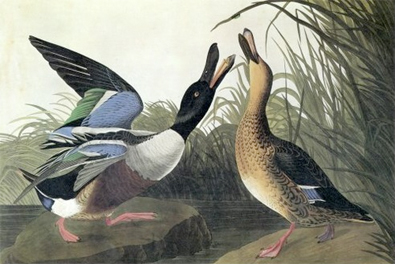 Audubon ducks