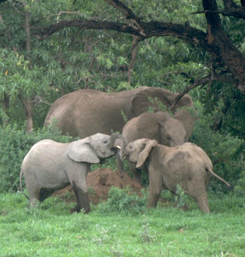 Elephant Calves Tussling